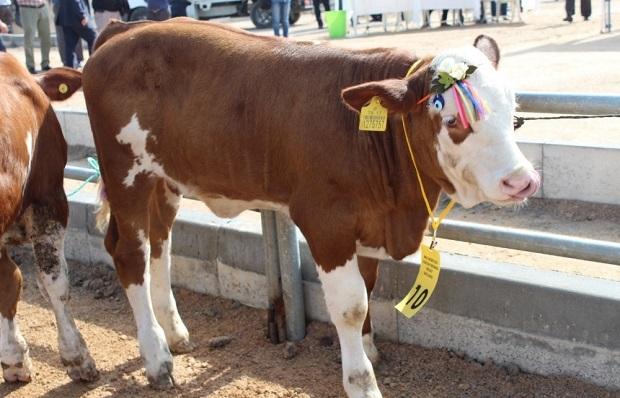 Biga 5. Sığır Güzellik Yarışması Yapıldı
